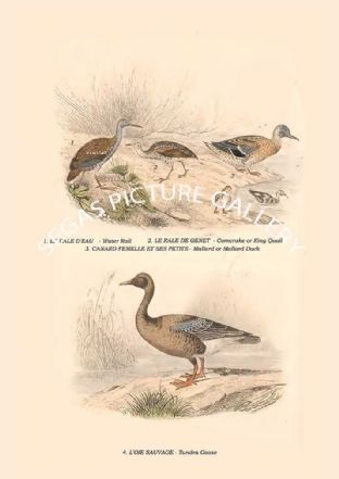 Water Rail, Corncrake or King Quail, Mallard or Mallard Duck, Tundra Goose